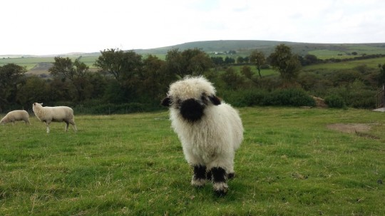 Heligan becomes home to the 'World's Cutest Sheep'.